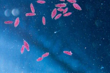 amoeba: microscopia animali al microscopio, la coniugazione di caudatum Paramecium, ingrandimento 50X