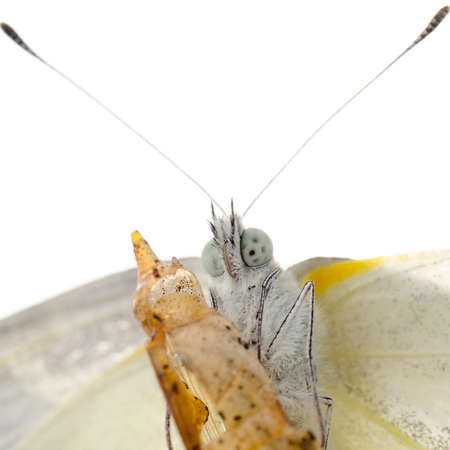 insect small white butterfly emergence with cocoon isolated Stock Photo - 13228960