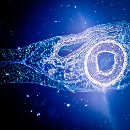 la science médicale anthropotomie physiologie micrographie d'un vaisseau sanguin, artère et la veine.