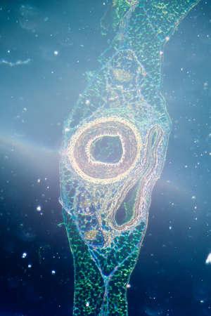 celula animal: la ciencia médica anthropotomy micrografía de la fisiología de los vasos sanguíneos, arterias y venas.