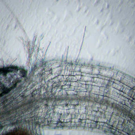 science botany micrograph plant arabidopsis thaliana root tissue  micro photo