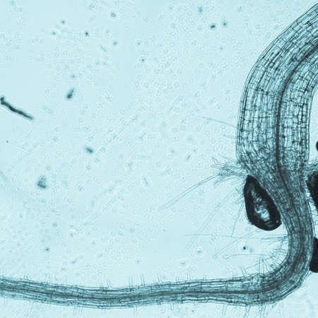 science botany micrograph plant arabidopsis thaliana root tissue  micro Stock Photo - 13463020