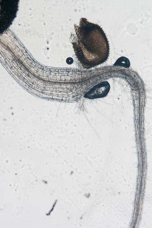 science botany micrograph plant arabidopsis thaliana root tissue  micro Stock Photo - 13463243