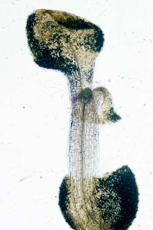 science botany micrograph plant arabidopsis thaliana root tissue  micro photo