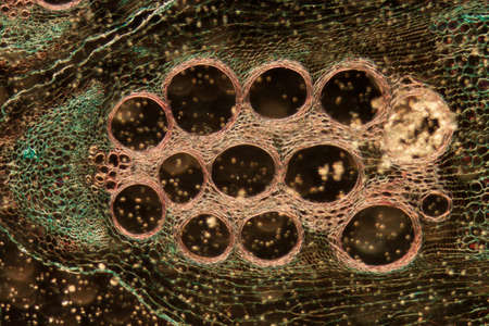 magnified: microscopy micrograph plant tissue, stem of pumpkin, magnification 100X Stock Photo