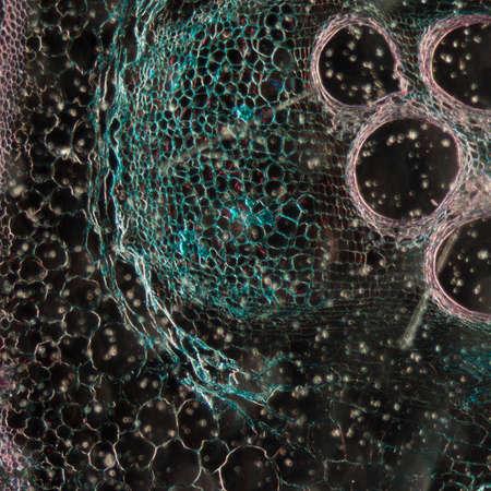 microscopy micrograph plant tissue, stem of pumpkin, magnification 100X photo