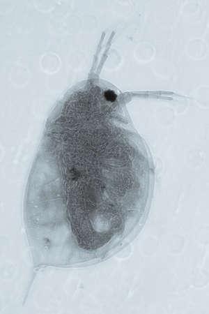 plancton: microscopía de la ciencia animal, micrografía pulga de agua, 50 aumentos.