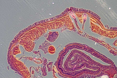 anguine: science microscopy micrograph earthworm crosscutting