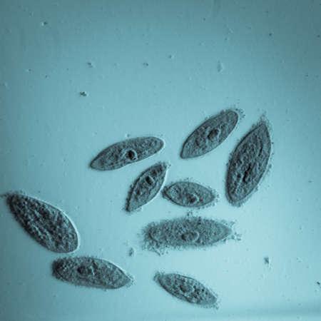 amoeba: microscopia animali al microscopio, la coniugazione di caudatum Paramecium, ingrandimento 100X