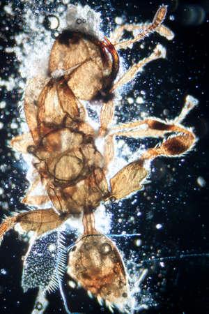celula animal: microscopía de la ciencia micrografía animales insectos, 50 aumentos Foto de archivo