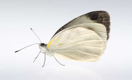 white butterfly: insect small white butterfly isolated Stock Photo