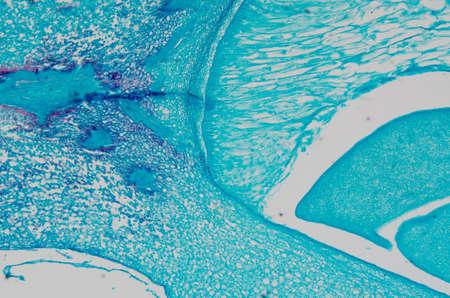 microscopy micrograph plant tissue, corn embryo Stock Photo - 13463385