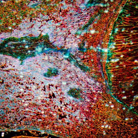 magnified: microscopy micrograph plant tissue, corn embryo