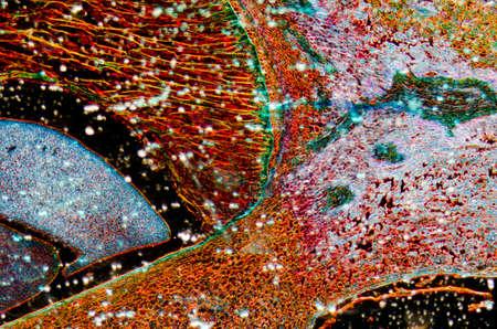 planta de maiz: Micrografía de microscopía de tejidos vegetales, embrión de maíz