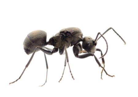ant: hormigas insectos aislado en blanco