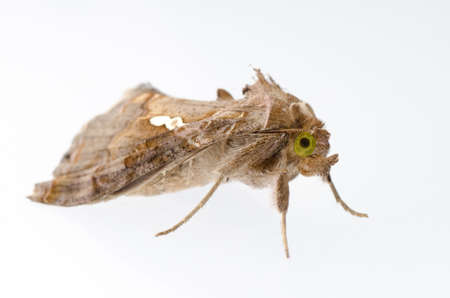 nocturnal: insect snout moth isolated on white Stock Photo