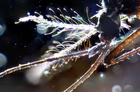 plancton: la ciencia de microscopía micrografía partes de los animales de la boca del mosquito de insectos