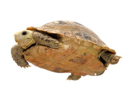 pet photography: Burmese Elongated tortoise pet turtle Stock Photo