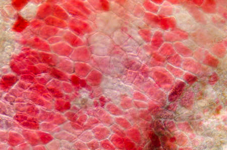 tissue texture: red cherry fruit peel cell, science micrograph plant pattern