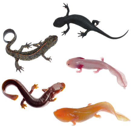 amphibian animal newt salamander collection isolated on white