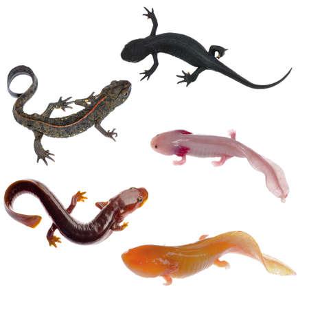 salamandre: amphibien animal triton salamandre collecte isolé sur blanc Banque d'images