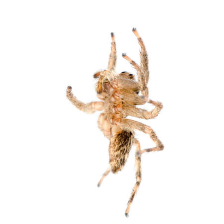 animal jumping spider isolated on white photo