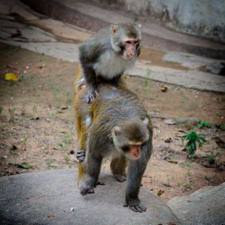 two animal monkey mating sex love Stock Photo - 15486793