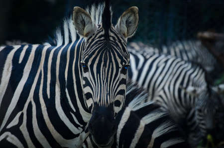 animal zebra black and white pattern texture portrait Stock Photo - 15486816