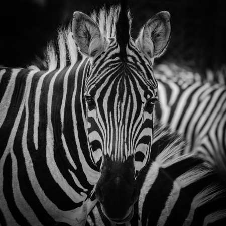 animal fauna: animal zebra black and white pattern texture portrait