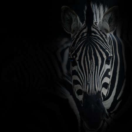 skin structure: animal zebre portrait Stock Photo