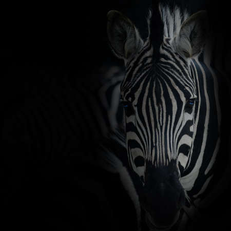 animal zebre portrait Standard-Bild