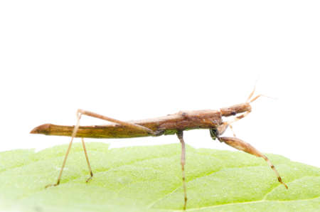 shield bug: insect assassin bug on green leaf