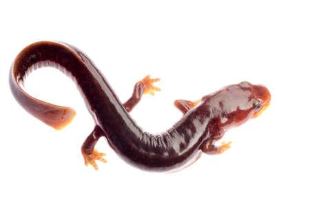 amphibian: Chinese tsitou salamander newt isolated on white