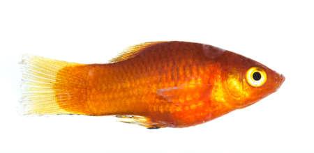 accosting: pet fish isolated on white background Stock Photo