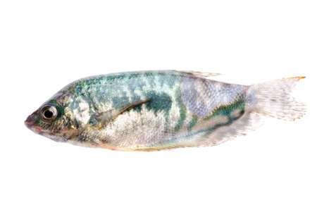 tropical fresh water fish: green pet fish isolated on white background