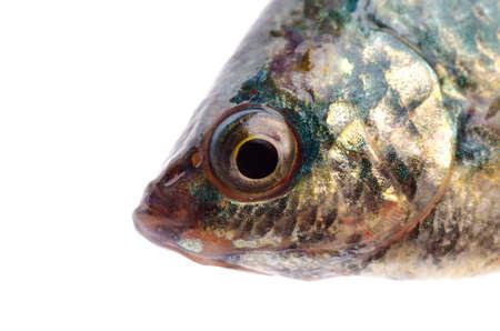 fish head isolated on white background Stock Photo - 15527901