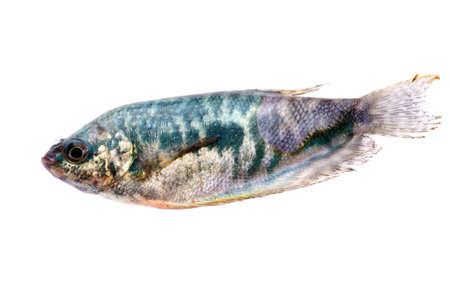 pet fish isolated on white background Stock Photo - 15527835