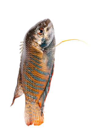 chinese fight fish Macropodus opercularis isolated on white Stock Photo - 15527813