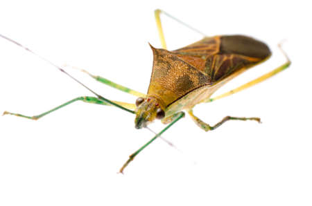 shield bug: insect stink bug isolated on white Stock Photo