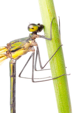 damselfly: insect damselfly dragonfly isolated on white
