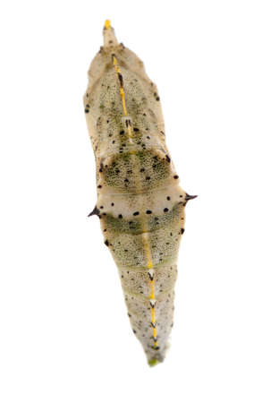 insect small white butterfly cocoon isolated photo