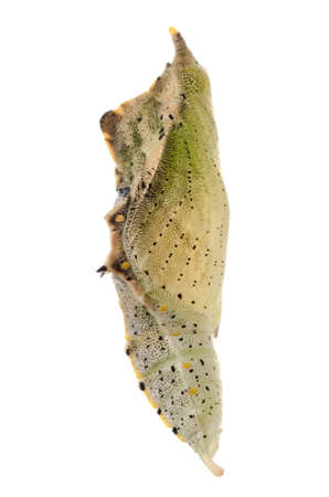 insect small white butterfly cocoon isolated Stock Photo