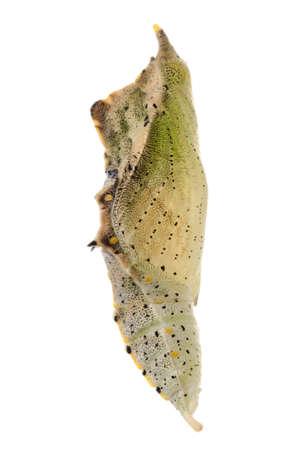 capullo: pequeño insecto mariposa capullo blanco aislado