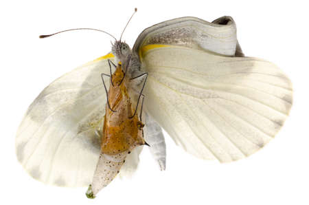 insect small white butterfly emergence with cocoon isolated Stock Photo