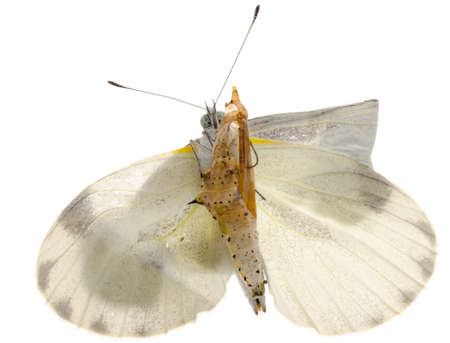 emerge: insect small white butterfly emergence with cocoon isolated Stock Photo