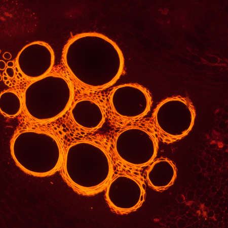 fluorescence: micrograph plant tissue, stem of pumpkin,with red fluorescence Stock Photo