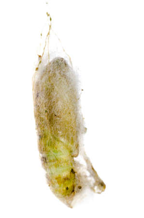 capullo: capullo insecto polilla verde aislado en blanco