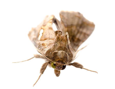 moths: insect snout moth isolated on white Stock Photo