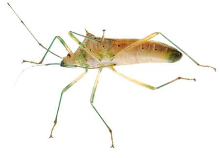 tufo: chinche insecto aislado en blanco