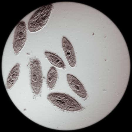 amoeba: microscopia animale al microscopio, coniugazione di caudatum Paramecium, ingrandimento 100X Archivio Fotografico